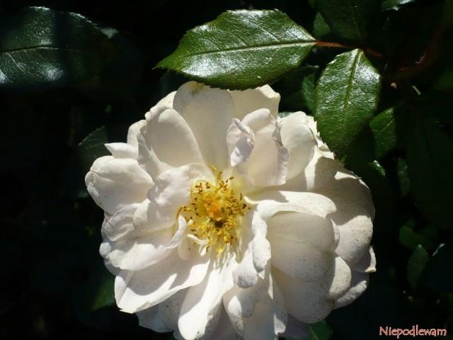 Przekwitające kwiaty róży Lions Rose płowieją wsłońcu. Natakim etapie najlepiej je obcinać. Fot.Niepodlewam