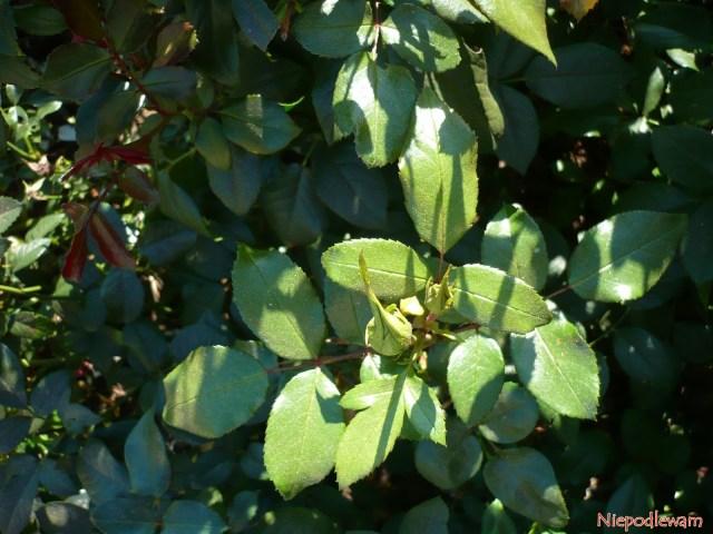 Róża Lions Rose ma ciemnozielone liście. Fot.Niepodlewam