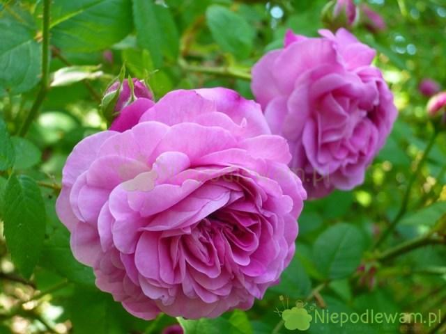 Róża Petite de Hollande należy dogrupy róż stulistnych. Mają one właściwości lecznicze. Ich płatki są świetne naprzetwory. Fot.Niepodlewam