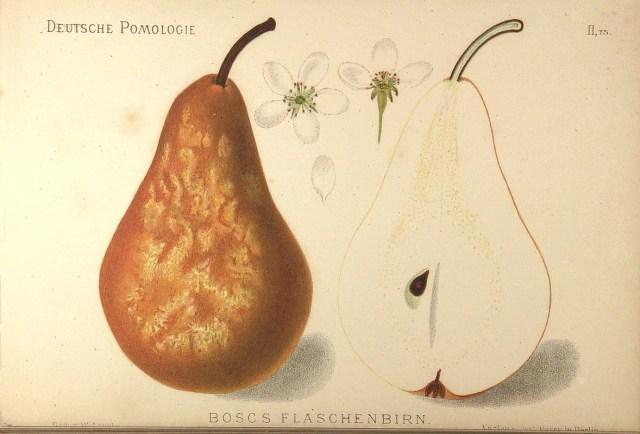 "Grusza Bera Bosca – rysunek zksiążki ""Deutsche Pomologie"" Wilhelma Lauche z1882-1883, zezborów biblioteki Wageningen UR."