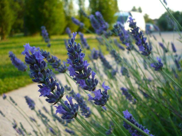 Lawenda najlepiej rośnie wsłonecznych miejscach. Zewzględu napiękny zapach warto ją sadzić np.blisko ścieżek.