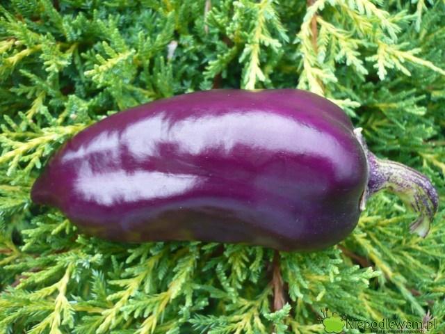 Papryka Oda ma fioletowe, słodkie owoce. Fot.Niepodlewam
