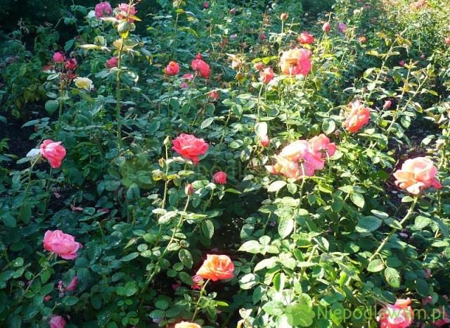 Róże Super Star. Fot.Niepodlewam