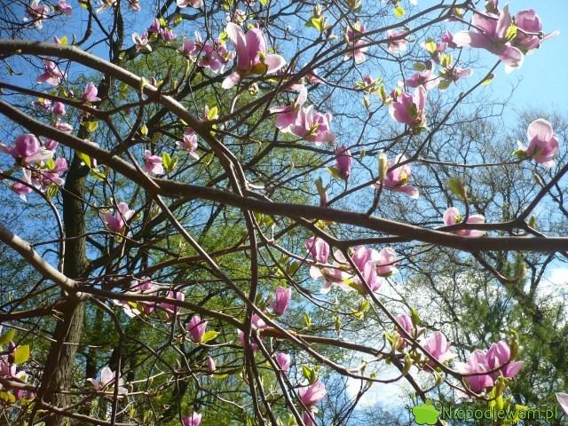 Główne kwitnienie magnolii Soulange`a Rustica Rubra przypada nakwiecień. Fot.Niepodlewam