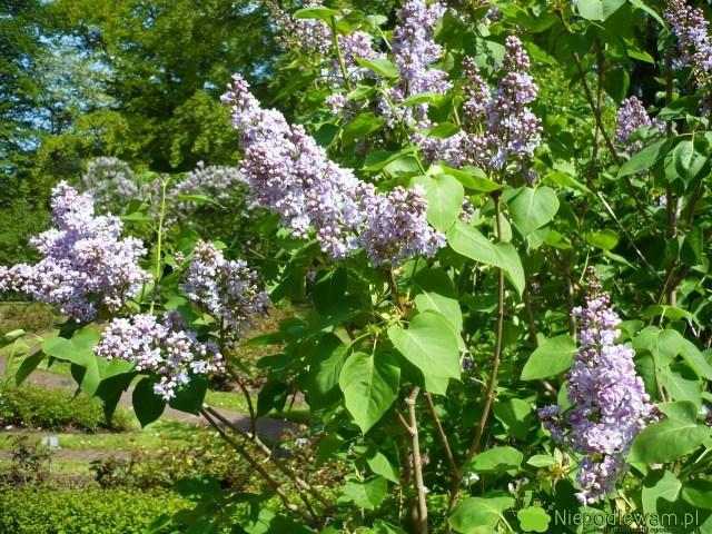 Lilak pospolity Profesor Hoser topolska odmiana sprzed 1930 roku. Ma podwójne, fioletowoniebieskie, pachnące kwiaty. Fot.Niepodlewam
