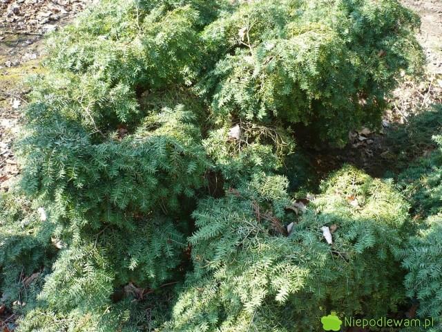 Choina kanadyjska Jeddeloh tozdrowo rosnąca odmiana. Rzadko choruje. Fot.Niepodlewam