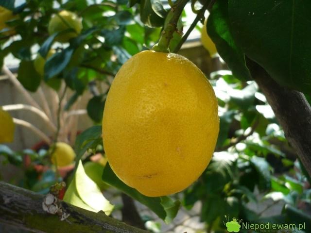 Cytryna zwyczajna Villafranca topopularna odmiana wsadach cytrynowych napołudniu Europy. Jej owoce można kupić wpolskich sklepach. Villafranca dobrze rośnie wdoniczkach. Fot.Niepodlewam