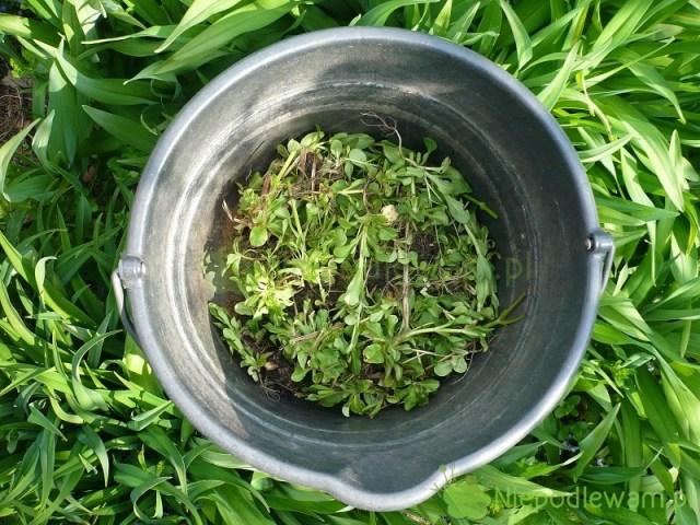 Gnojówki roślinne można robić zziół rosnących dziko, aleteż niektórych warzyw, np.roszponki warzywnej. Fot.Niepodlewam