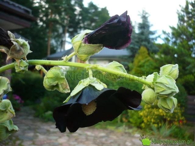 Czarne malwy, zwłaszcza podkoniec kwitnienia, przewieszają się ikładą naziemi. Warto je uprawiać przy podporach. Fot.Niepodlewam
