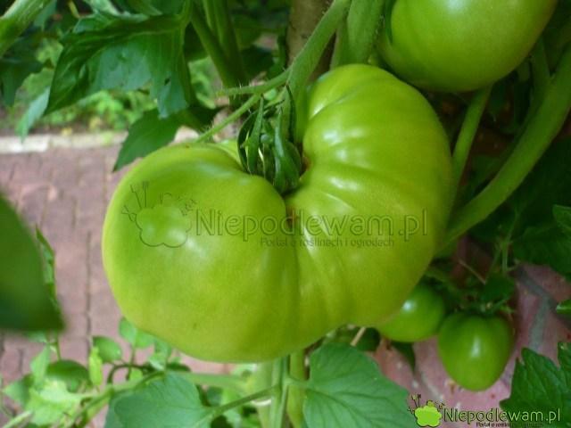 Pomidor Malinowy Olbrzym donrze rośnie wdonicach, np.nabalkonie itarasie. Fot.Niepodlewam