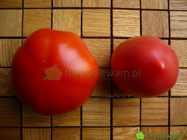 Porównanie wielkości ikoloru pomidorów Malinowy Olbrzym (polewej) orazMalinowy Retro (poprawej). Fot.Niepodlewam