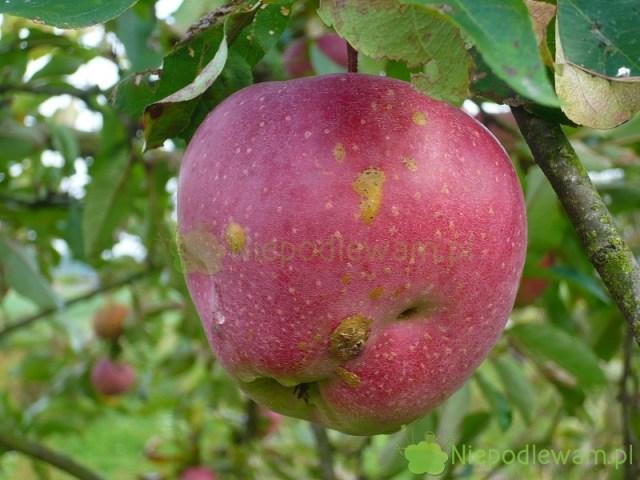 Parch jabłoni. Fot.Niepodlewam