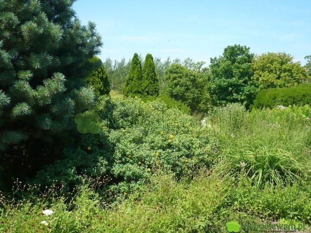 Sosna pospolita Watereri wogrodzie wstylu naturalnym. Tuż obok rośnie dziurawiec Hidcote. Fot.Niepodlewam