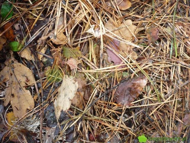 Do przygotowania kwaśnego kompostu nadają się np.igły sosny. Fot.Niepodlewam