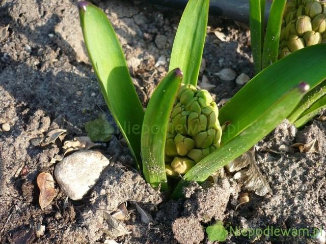 Wiosenne nawożenie hiacyntów najlepiej zrobić, gdyukazują się liście ipąki. Fot.Niepodlewam