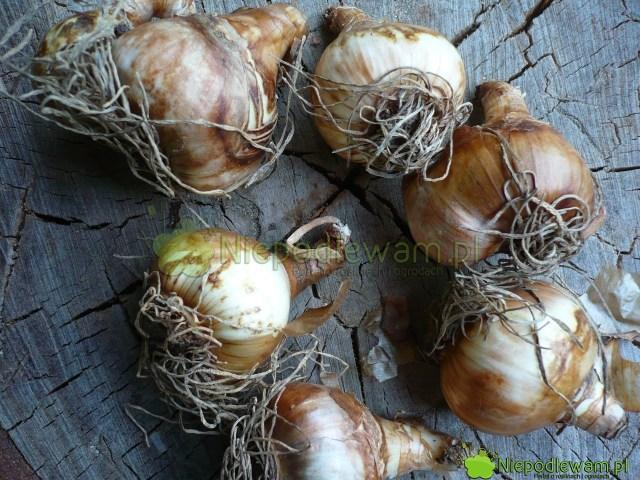 Do sadzenia wdoniczkach nadają się tylkoduże cebule. Przedsadzeniem trzeba usunąć stare korzenie. Fot.Niepodlewam