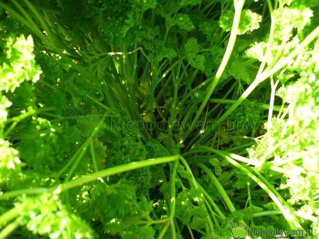 Ogonki liściowe pietruszki Moss Curled 2. Fot.Niepodlewam