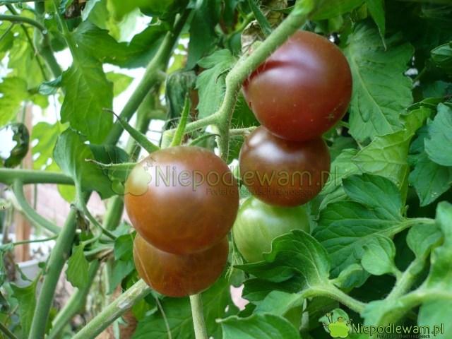 Czarne pomidory ma odmiana Black Cherry. Fot.Niepodlewam