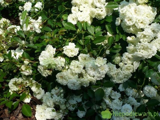 Róża Alba Meidiland kwitnie nabiało. Fot.Niepodlewam