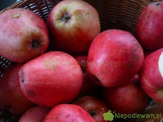 Jabłoń Gołąbek Natuzjusza tostara odmiana. Jest bardzo rzadka. Rys. Niepodlewam napodstawie rycin zXIX wieku