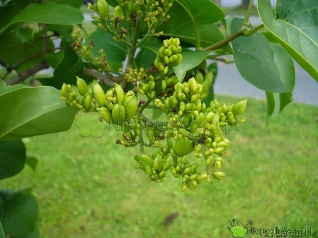 Nie powinno się dopuszczać dozawiązywania nasion przezlilaki. Takie krzewy słabiej kwitną wkolejnym roku. Fot.Niepodlewam