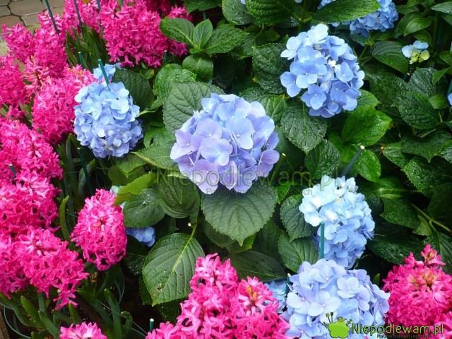 Piękna kompozycja kolorystyczna: niebieskie hortensje iróżowe hiacynty wschodnie Jan Bos. Fot.Niepodleam