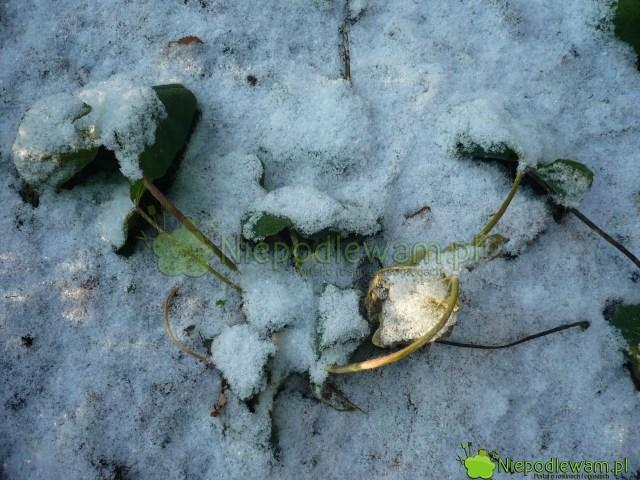 Młode malwy tracą liście nazimę. Są odporne namróz. Fot.Niepodlewam