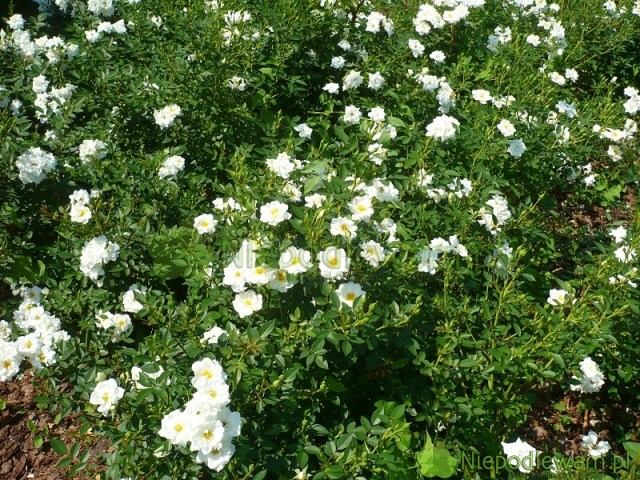 Róża White Cover tobujnie rosnąca odmiana okrywowa. Fot.Niepodlewam
