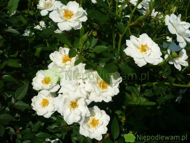 Róża White Cover ma białe kwiaty. Delikatnie pachną. Fot.Niepodlewam