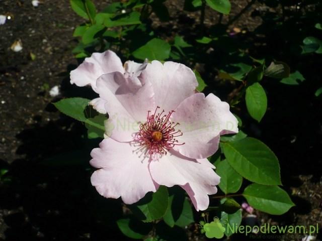 Róża Dainty Bess ma pojedyncze kwiaty. Charakterystyczne są długie, różowe pręciki. Fot.Niepodlewam