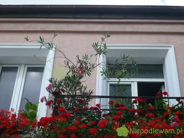 Zimowanie kwiatów balkonowych nazewnątrz, takich jak np.oleander czypelargonia, jest wpolskim klimacie niemożliwe. Trzeba jest przechować przezzimę wpomieszczeniach. Fot.Niepodlewam