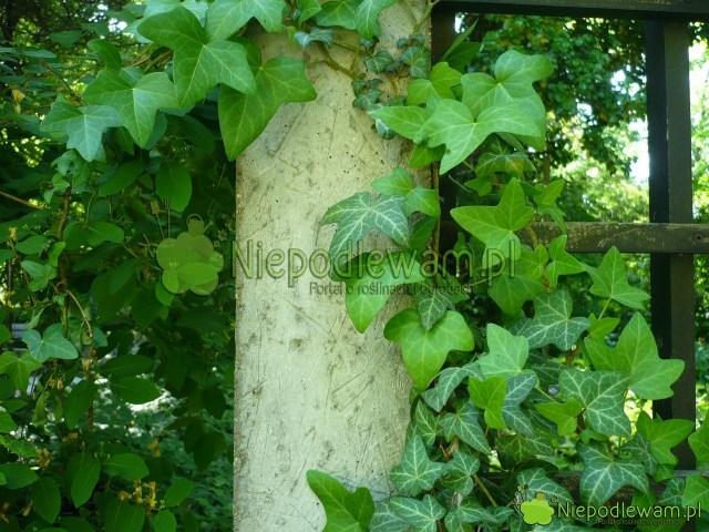 Bluszcz pospolity topopularna roślina ogrodowa idoniczkowa. Lubi półcień icień. Fot.Niepodlewam