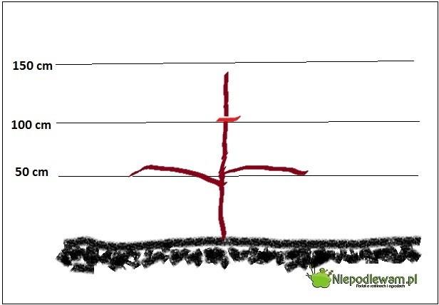 formowanie drzew owocowych rysunek 2