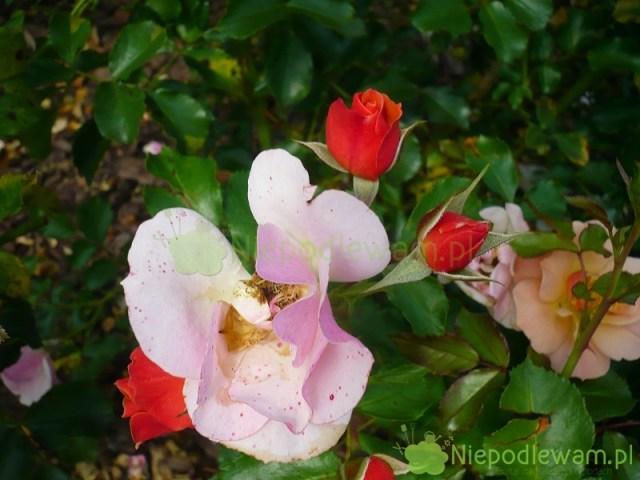 Pąki róży Jazz są pomarańczowe. Fot.Niepodlewam