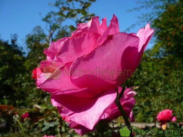 Róża Venrosa topolska odmiana. Pachnie pięknie, średnio mocno. Fot.Niepodlewam