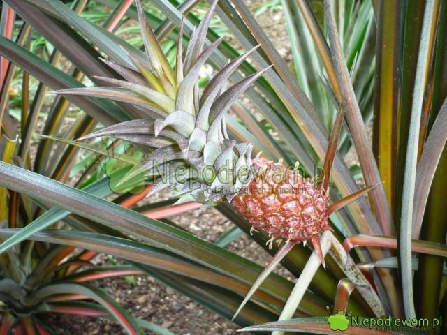 Owocujący ananas jadalny wszklarni. Fot.Niepodlewam
