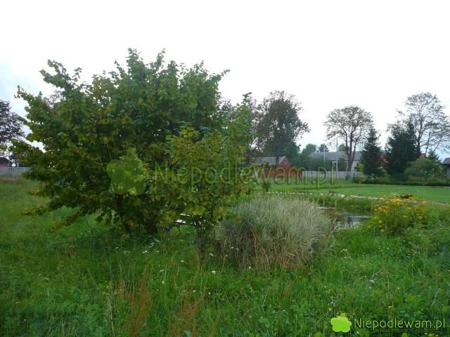 Leszczyna pospolita toduży krzew lub małe drzewko. Fot.Niepodlewam