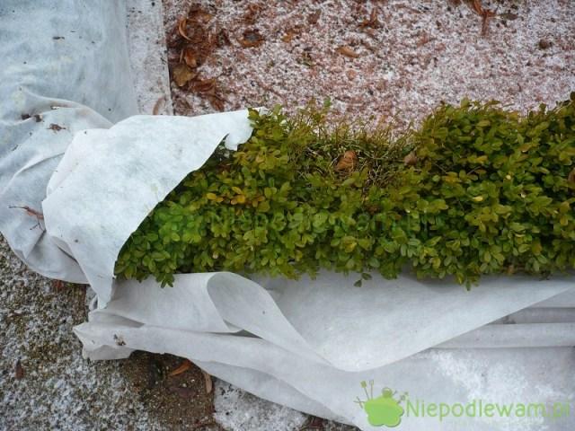 Okrywanie bukszpanu nazimę ma bardziej chronić przedutratą wody niż mrozem. Fot.Niepodlewam
