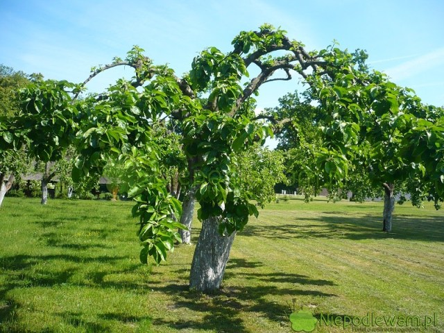 Terminy cięcia drzew owocowych są różne. Fot.Niepodlewam