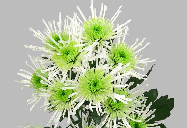 Chryzantema Anura Green. Fot.JustChrys.com