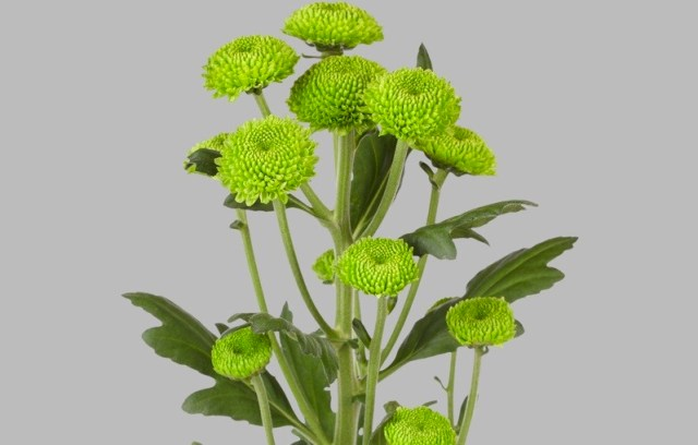 Chryzantema Feeling Green. Fot.JustChrys.com