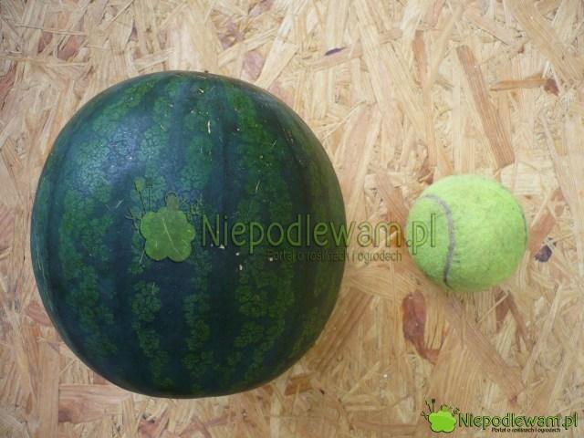 W polskim klimacie owoce arbuzów Janosik osiągają do5 kg wagi. Fot.Niepodlewam