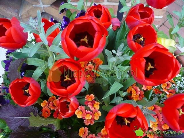 Nemezja powabna Blood Orange wkompozycji zpachnącymi tulipanami Come Back. Fot.Niepodlewam