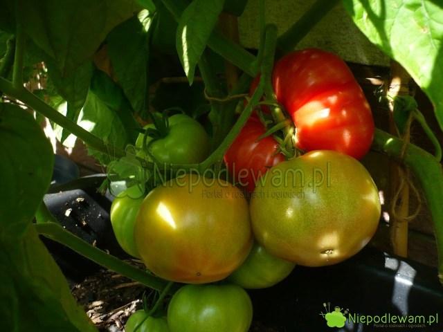 Owoce pomidorów Malinowy Warszawski niedojrzewają jednocześnie. Są zebrane wgrona. Fot.Niepodlewam