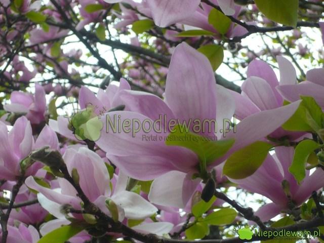 Kwiaty magnolii Soulange`a Alexandrina. Fot.Niepodlewam