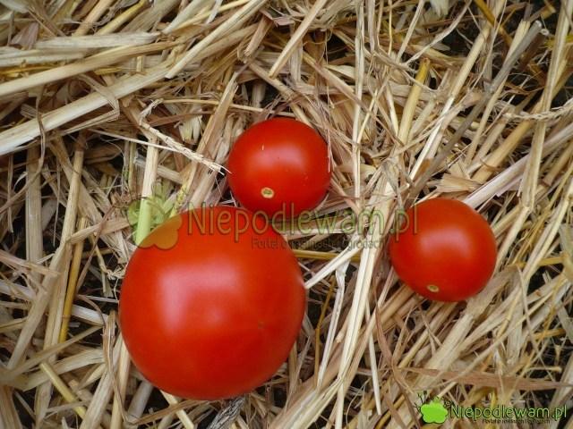 Porównanie pomidorów: Poranek (większy) orazPokusa (mniejsze). Fot.Niepodlewam