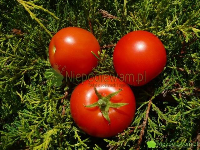 Pomidor Poranek jest niski (około 100 cm wysokości). Ma średniej wielkości owoce. Fot.Niepodlewam