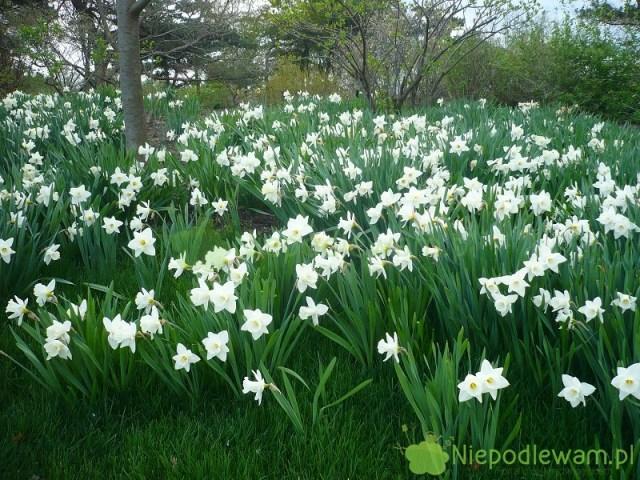 Uprawa narcyzów jest łatwa. Te kwiaty można sadzić nawet naskraju leśnego ogrodu. Fot.Niepodlewam