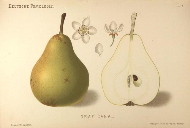 """Grusza Kanal - – rysunek zksiążki """"Deutsche Pomologie"""" Wilhelma Lauche z1882-1883, zezborów biblioteki Wageningen UR."""