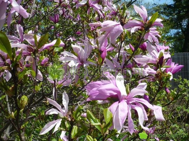 Magnolia Jane toniska, odporna odmiana. Kwitnie naróżowo, Fot.Niepodlewam